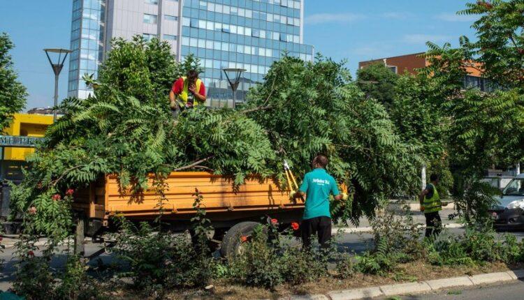 The Municipality of Prishtina eliminates the harmful wood, Walnut