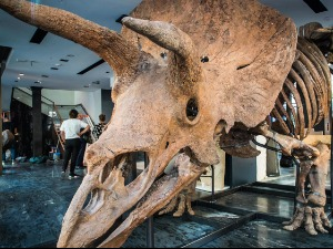 """""""Big John"""" at auction after 66 million years, is worth"""