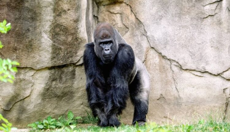 Some gorillas become infected with COVID in the US