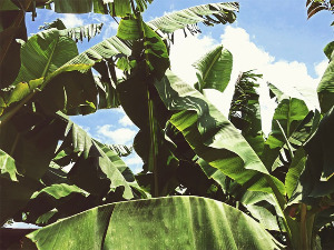 Will bananas be grown in our orchards soon?